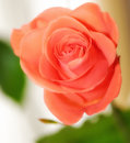 Free Rose Royalty Free Stock Photography - 8480497