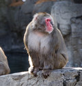 Free Snow Monkey Stock Image - 8485741