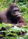 Free Orangutan Stock Image - 8486981