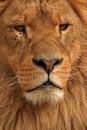 Free Close Up Lion Royalty Free Stock Photo - 8489875
