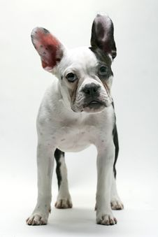 Free Puppy French Bulldog Royalty Free Stock Images - 8480369