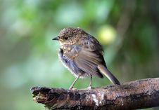 Free Young Robin Stock Photography - 8480472