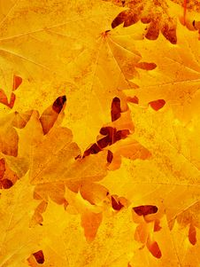 Free Leaves Of A Tree A Maple Royalty Free Stock Images - 8481069