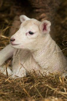 Free Baby Lamb Stock Images - 8482004