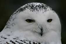 Free Snowy Owl Royalty Free Stock Photo - 8483865
