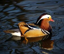 Free Magnificent Feather Of Mandarin Duck Royalty Free Stock Photo - 8484425