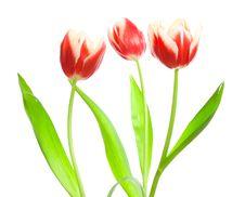 Free Three Red-white Tulips Royalty Free Stock Image - 8484476