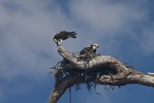 Free Two Ospreys With Their Nest Stock Image - 8484501