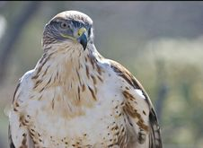 Free Ferruginous Hawk In Desert Royalty Free Stock Photos - 8485638