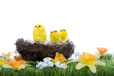 Baby Chicks Sitting In Nest Stock Image