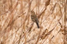 Free Sparrow In The Marsh Stock Images - 8485984