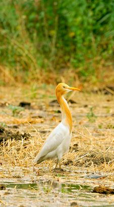 Free White Cattle Egret Stock Images - 8487044