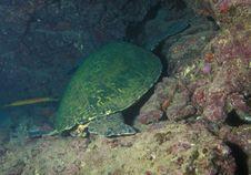 Green Sea Turtle Sleeping Stock Photography