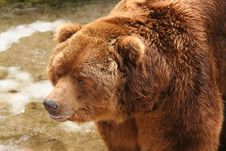 Free Brown Bear Royalty Free Stock Images - 8489709
