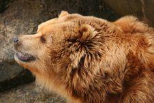 Free Brown Bear Stock Photo - 8489720