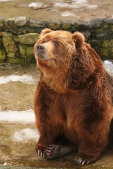 Free Brown Bear Royalty Free Stock Images - 8489739