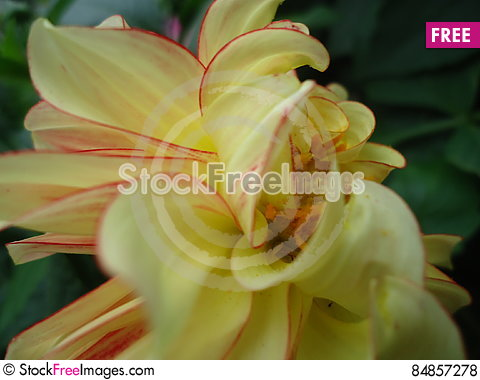 Free Dahlia Flower. Royalty Free Stock Photos - 84857278