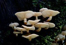 Free Armillaria Mellea, Stock Photo - 84896710