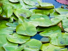 Free Floating Lily Pads Royalty Free Stock Image - 84897986