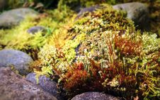 Free Moss With Sporophytes And Cup Lichens Among Rocks Stock Photography - 84898112