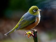 Free Silvereye.NZ Royalty Free Stock Images - 84898239
