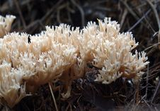 Free Coral Fungi &x28;Clavaniaceae&x29; Stock Photography - 84898972