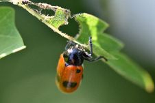 Free Lady Bird Eating Leaf Stock Images - 84899464