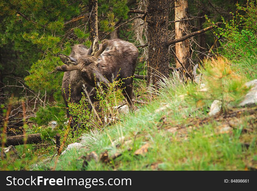 Reindeer Grazing in a Forest