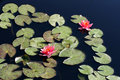 Free Water Lilies Royalty Free Stock Images - 8493349