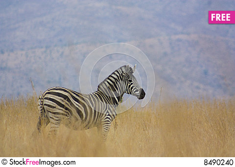 Free Zebra In Natural Habitat Stock Photo - 8490240