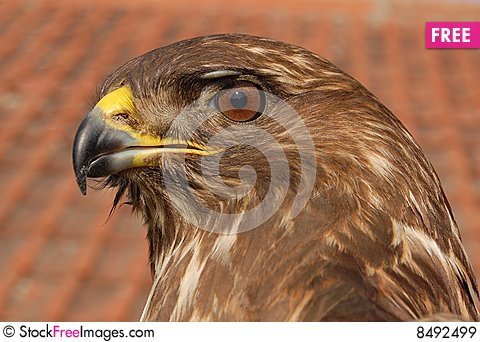 Free Close Up Eagle Head Royalty Free Stock Images - 8492499