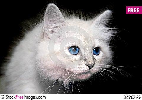 Free Siberian Kitten Royalty Free Stock Images - 8498799