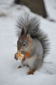 Free Squirrel Stock Image - 8490451