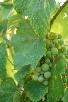 Free Green Grapes Royalty Free Stock Photography - 8490737