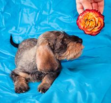 Free Small Dachshund Smelling A Flower Royalty Free Stock Photos - 8490828