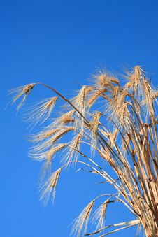 Free Wheat Stems. Royalty Free Stock Images - 8491169