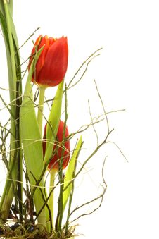 Free Two Tulips. Stock Photography - 8491292