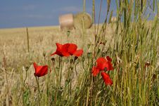 Free Poppies In Summer Royalty Free Stock Images - 8491489