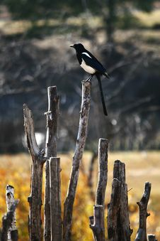 Free Bird Standing On The Fence Royalty Free Stock Photo - 8492165