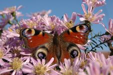 Free Close Up Butterfly Royalty Free Stock Image - 8492206