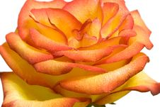 Free Rose Stock Photography - 8492362
