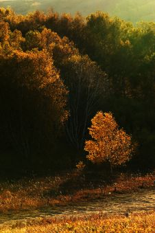 Free Golden Trees Stock Images - 8492404