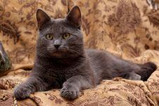 Free Lying Grey Cat Royalty Free Stock Photos - 8492448