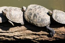 Free Tortoises Resting Royalty Free Stock Images - 8493359