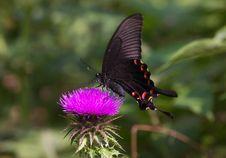 Free Papilio Bianor Cramer Stock Photo - 8493630
