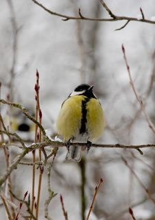 Free Titmouse Royalty Free Stock Images - 8493659