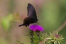 Free Papilio Bianor Cramer Royalty Free Stock Photos - 8493708