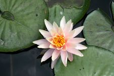 Free Water Lily Royalty Free Stock Photos - 8493838