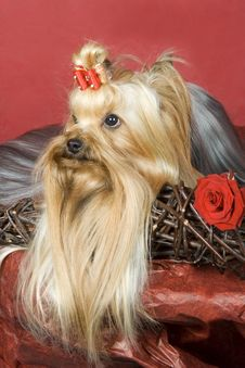 Free Yorkshire Terrier On Red Background Royalty Free Stock Photo - 8495145