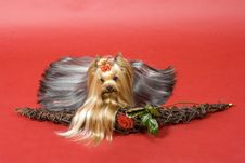 Free Yorkshire Terrier On Red Background Royalty Free Stock Photos - 8495248